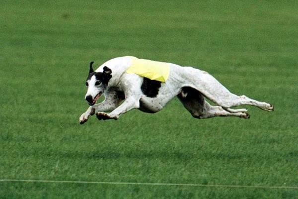 10 самых быстрых пород собак в мире: фото, описание и с какой скоростью бегают