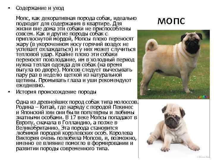 Продолжительность жизни мопсов: сколько лет они живут и что на это влияет + соотношение возраста собаки и человека