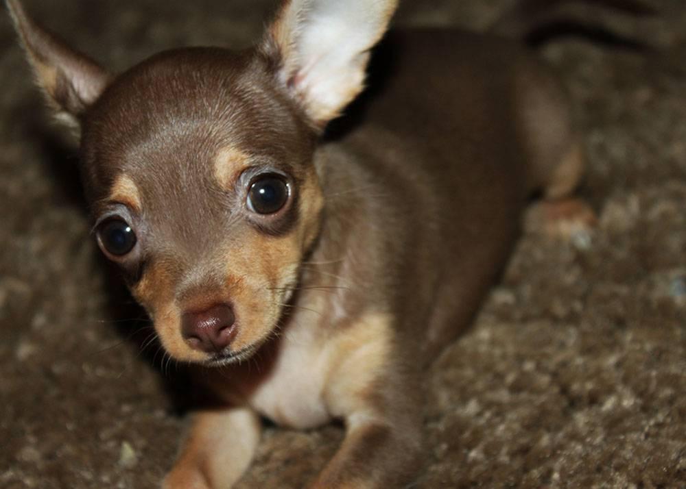 Помесь чихуахуа и той-терьера: фото как выглядит смесь питомца на фото, характер питомца, а также как правильно выбрать щенка