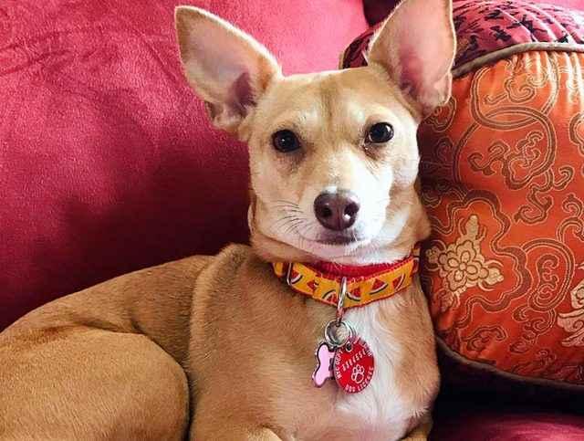 Метис джек-рассел-терьер: как выглядят помесь таксы, йорка и бигля, а также похожие породы собак на фото