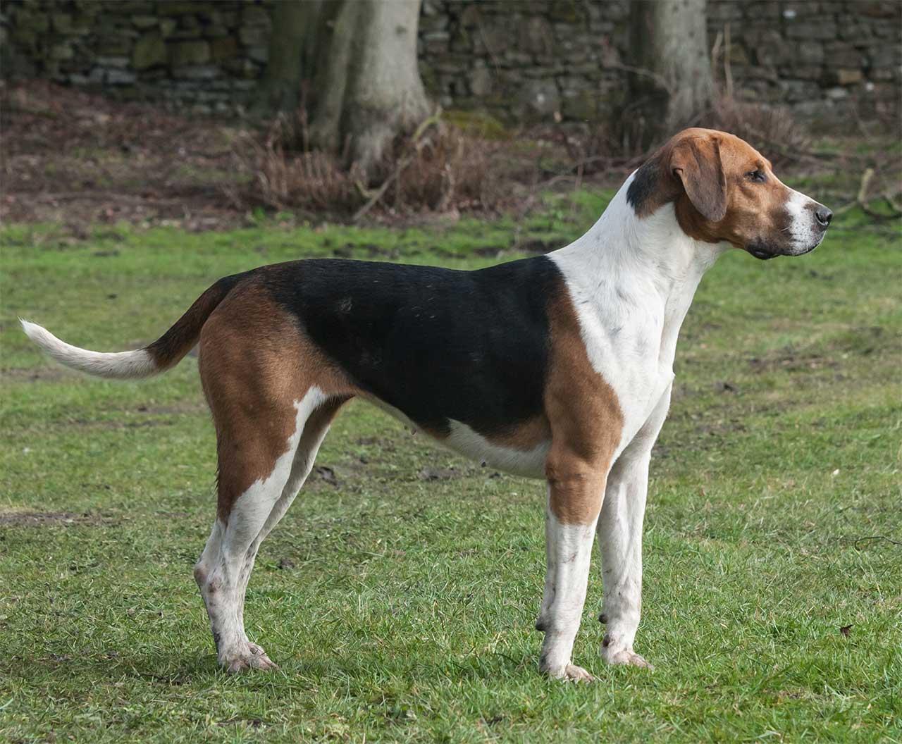 Характеристика собак породы английский фоксхаунд с отзывами и фото
