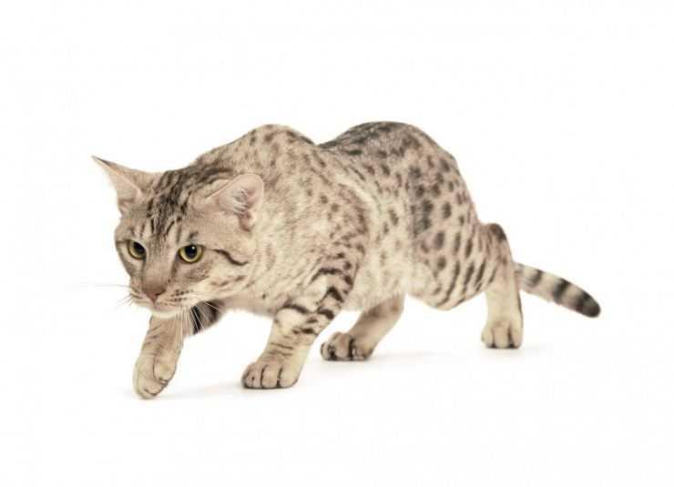 Порода кошек оцикет: маленькие домашние леопарды