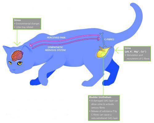 Идиопатический цистит у кошек – причины, развитие, симптомы и лечение заболевания