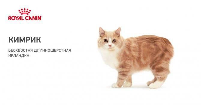 Порода кимрик (уэльская кошка): фото и описание - kotospravka