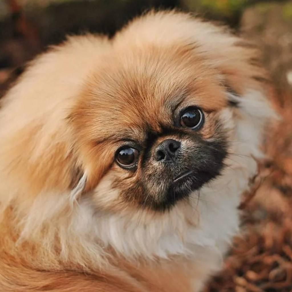 Пекинес собака. описание, особенности, уход и цена пекинеса   sobakagav.ru