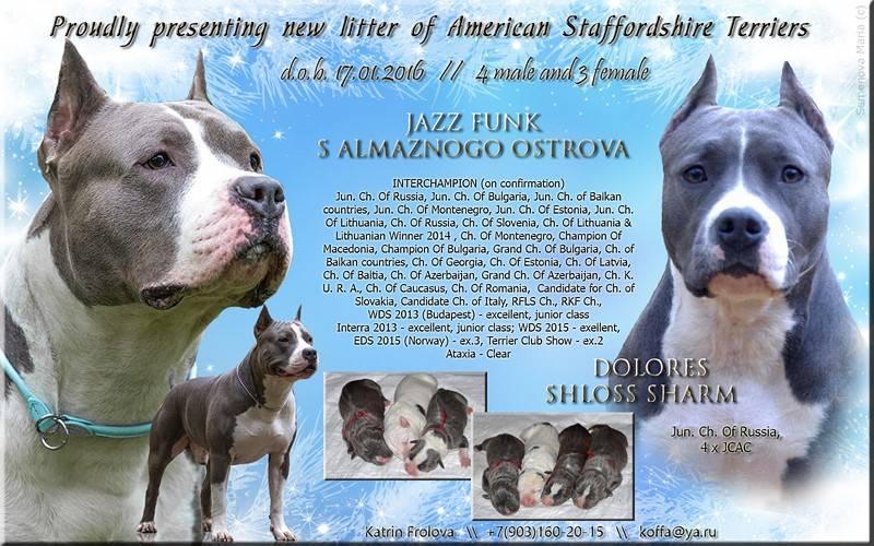 Черный стаффордширский терьер (19 фото): описание американских амстаффов черного окраса, содержание щенков и взрослых собак