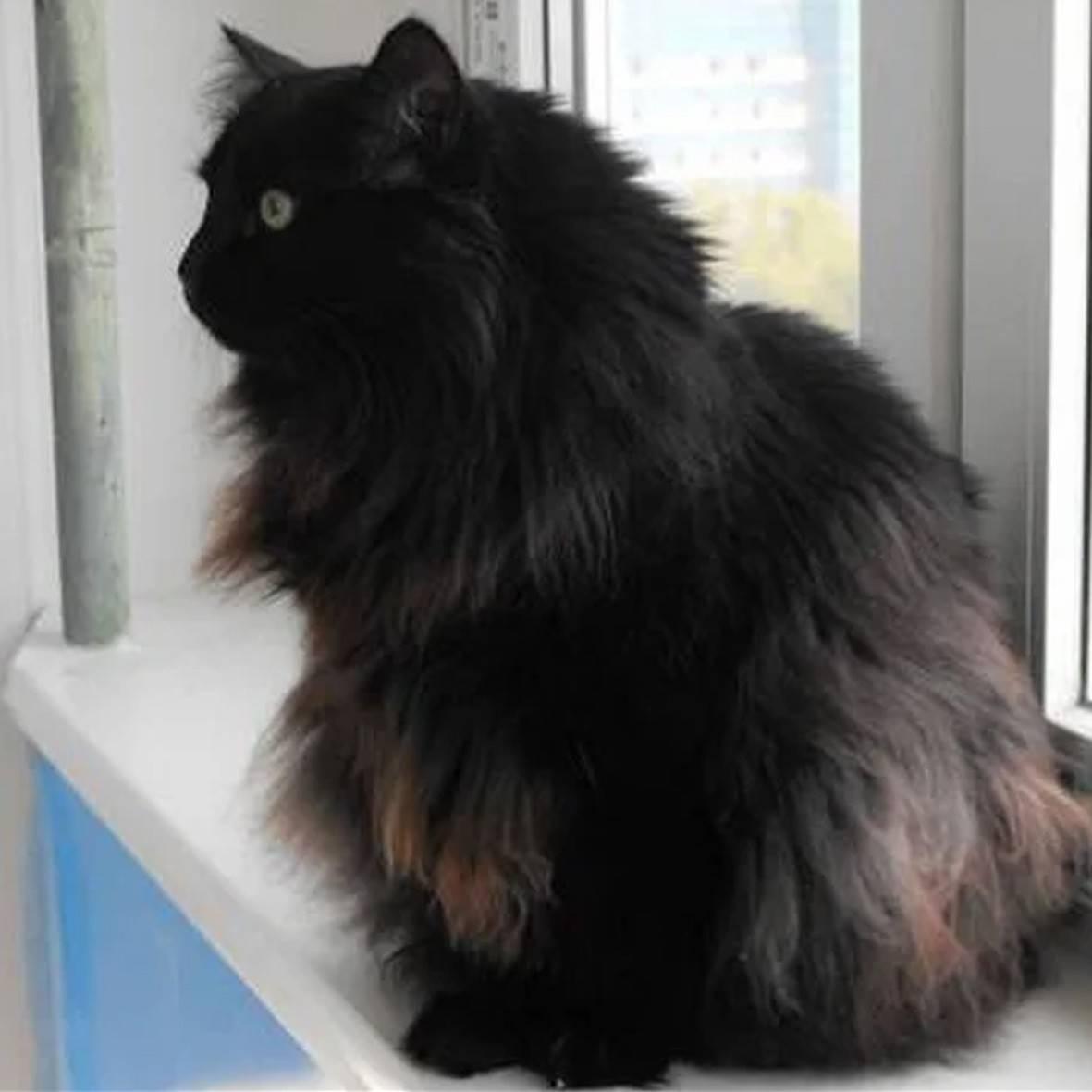 Тиффани-кошка: описание и характеристики породы, особенности содержания, уход и забота
