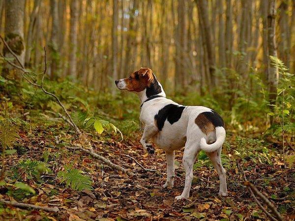 Датско-шведская фермерская собака: внешность, поведение, уход