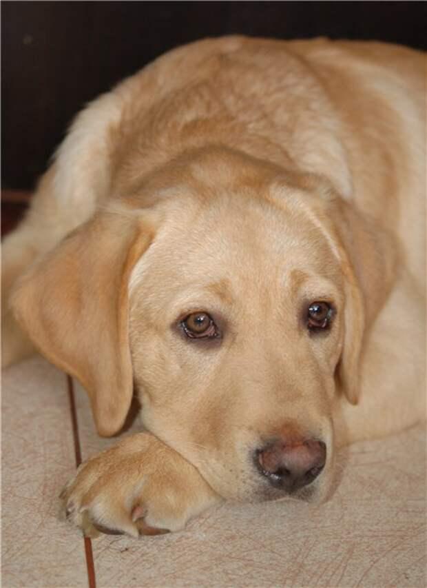 Собаки похожие на лабрадора: породы с длинной шерстью только меньше по размеру, обзор питомцев и их характеристика