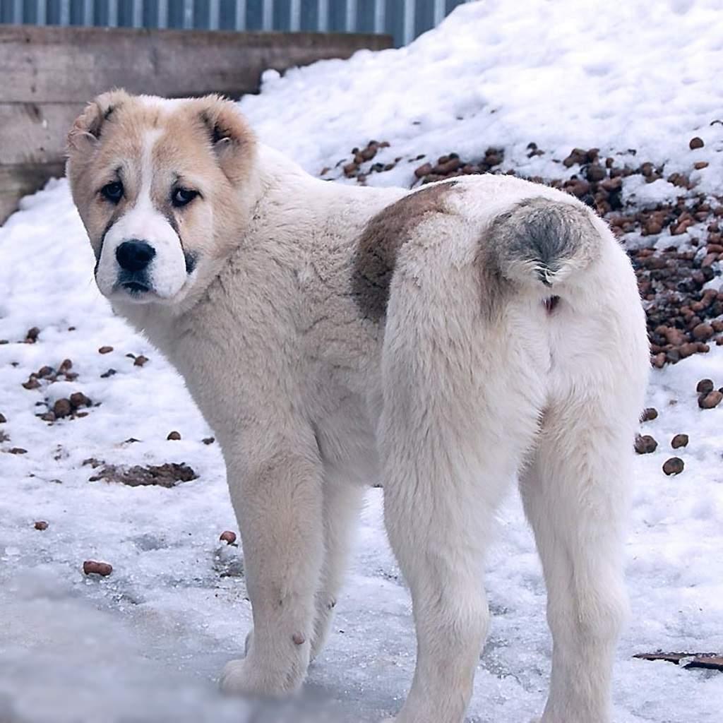 Японские породы собак с фотографиями