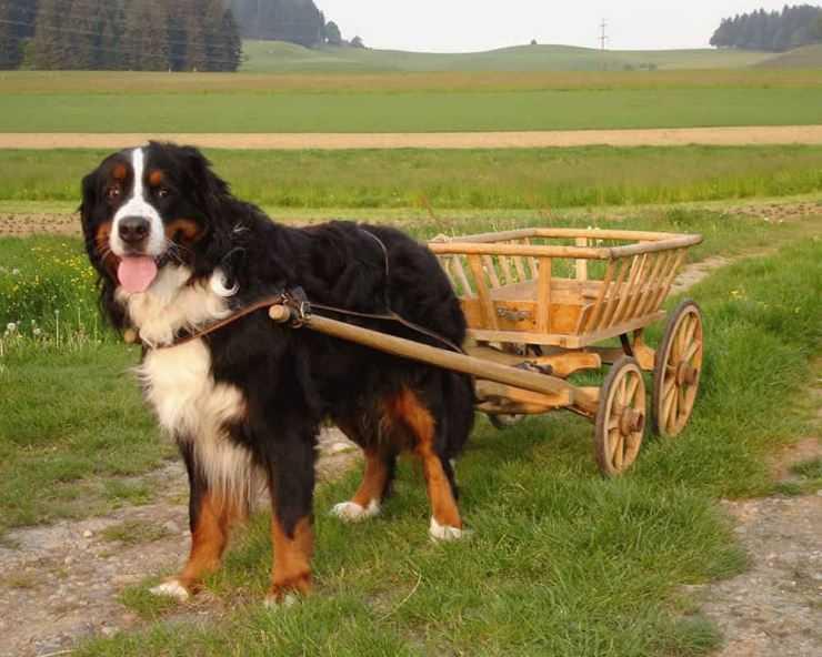 Пастушьи собаки: происхождение, описание и советы по выбору