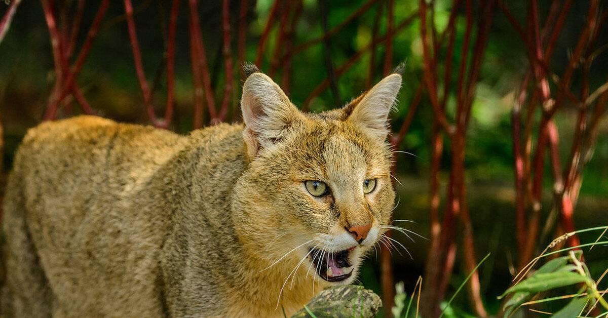 Топ-10 фактов о камышовом коте – 18 фото - картинки