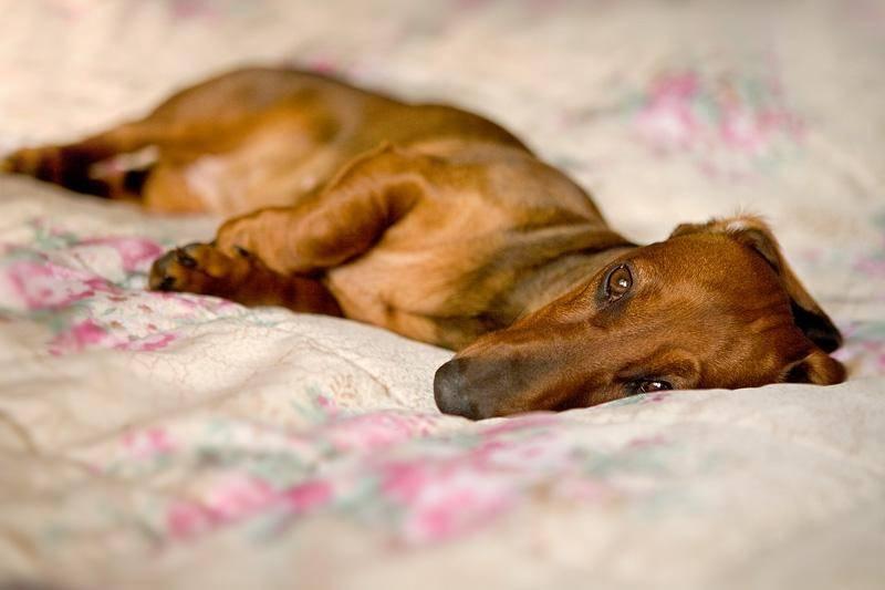 "Развитие плода у собаки по неделям и дням | блог ветклиники ""беланта"""