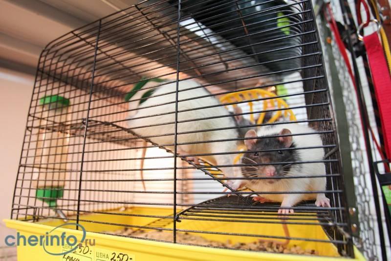 Домашние крысы: уход и содержание