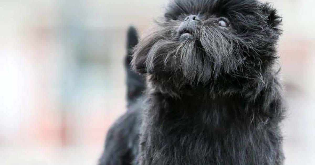 Характеристика собак породы аффенпинчер с отзывами и фото