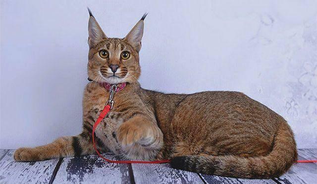 Породы кошек, похожие на рысь
