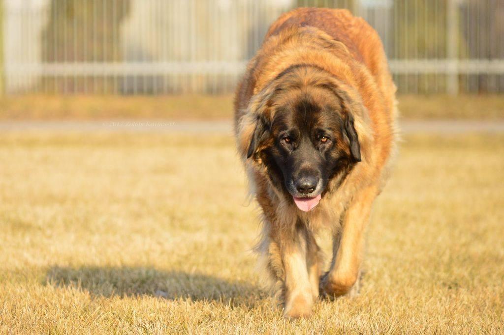 Леонбергер: фото собаки и описание породы, уход, цена на щенка