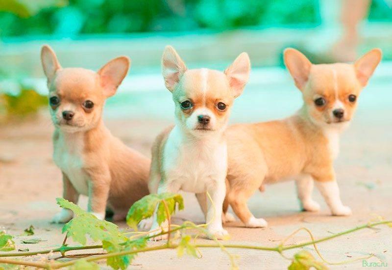 Самые миниатюрные собачки в мире – чихуахуа