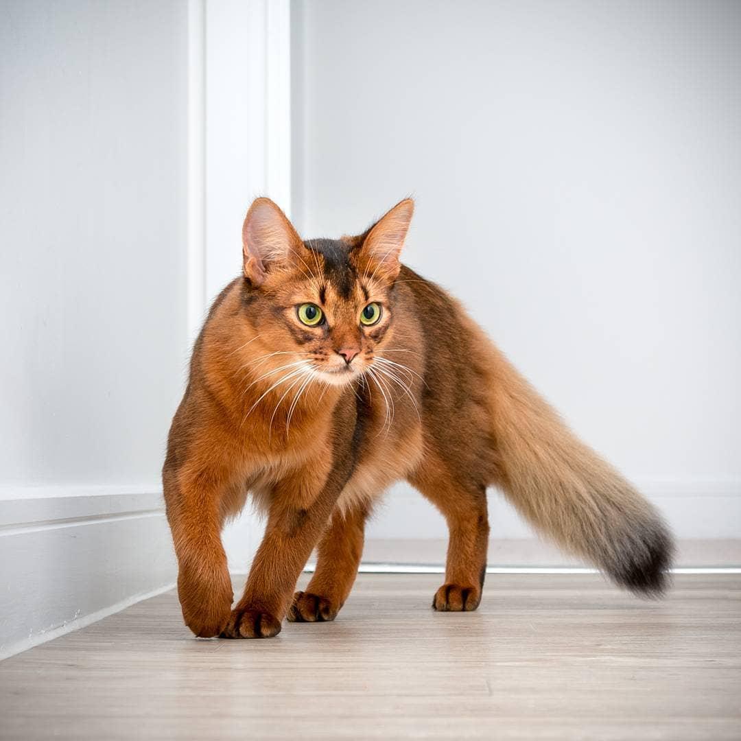 Описание сомалийской породы кошек и котов