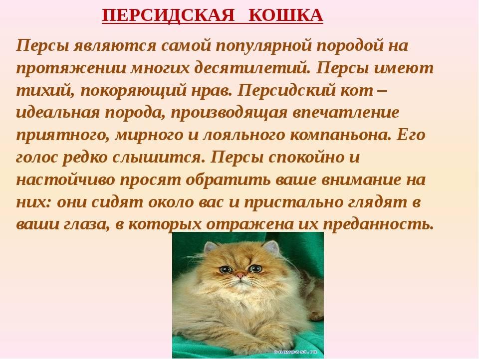 Невская маскарадная кошка: описание, характер и особенности ухода