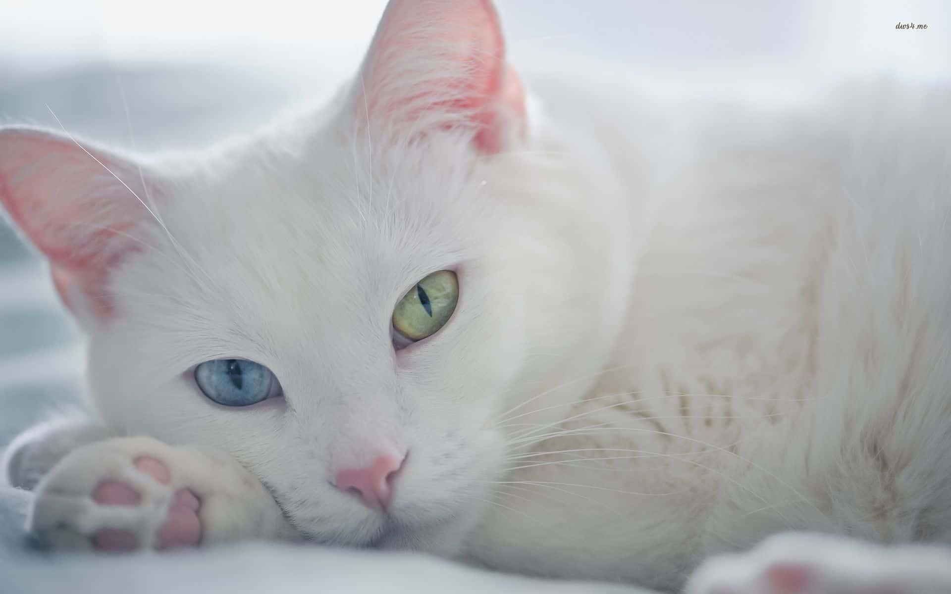 Белая шотландская кошка (12 фото): особенности окраса котов с голубыми глазами, содержание котят