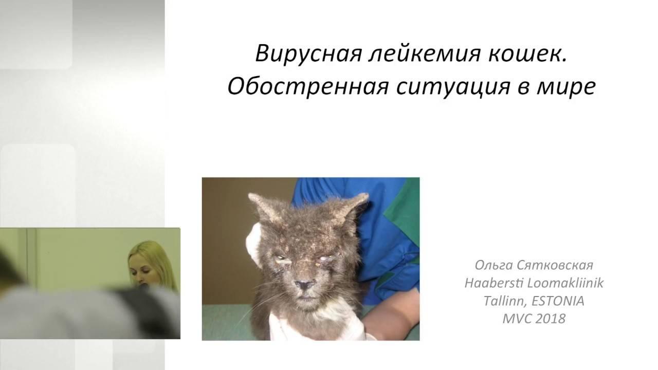Вирусный лейкоз у кошек: симптомы и лечение заболевания