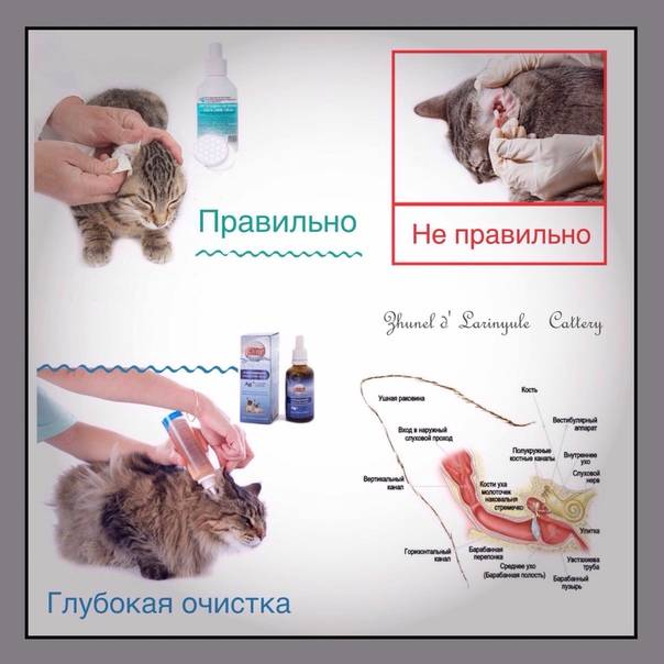 Как правильно почистить уши коту самостоятельно в домашних условиях, средства для чистки ушек кошек и котят