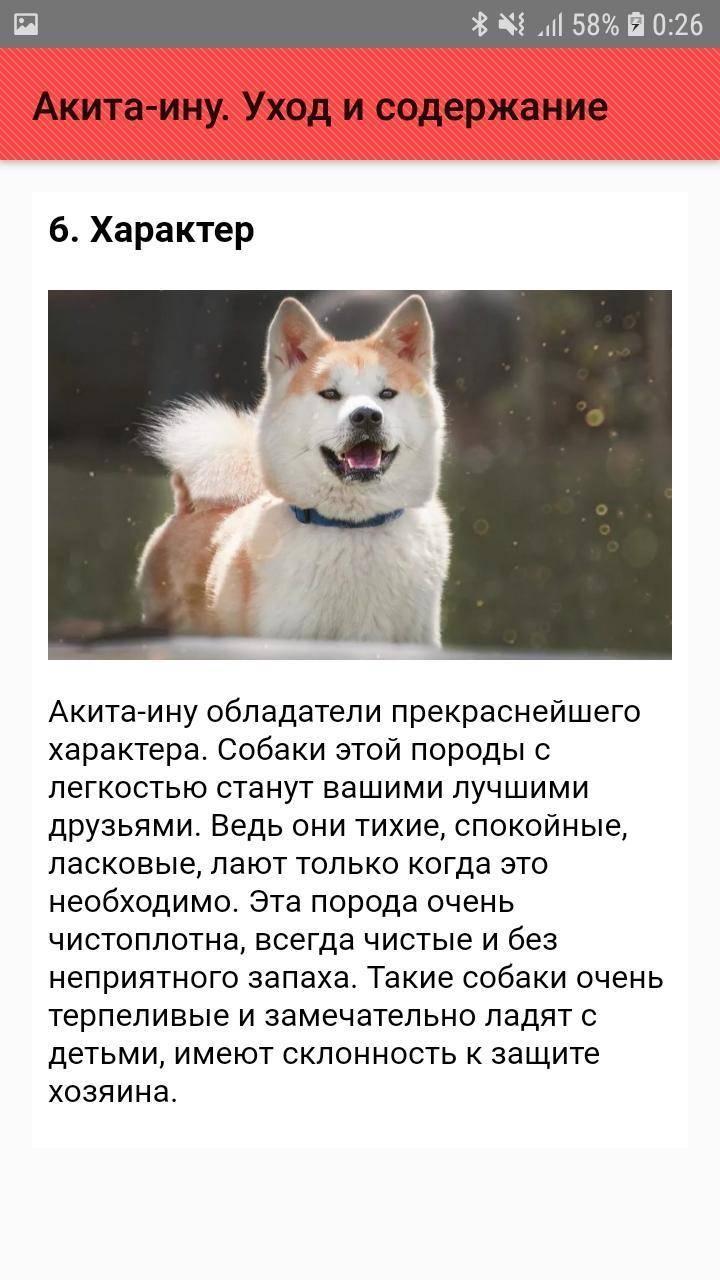 Американская акита: описание породы, характер собаки и щенка, фото, цена