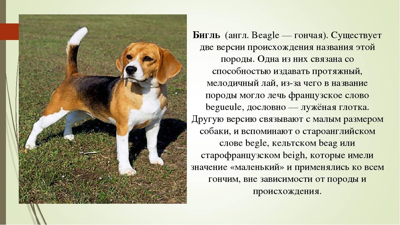 Фильм  бетховен : порода собаки, характер