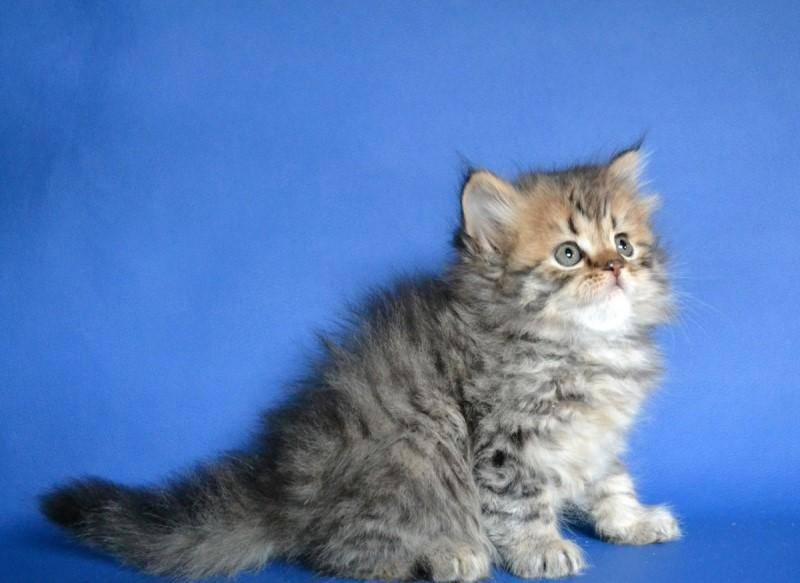 Хайленд страйт (шотландская длинношерстная прямоухая кошка): особенности породы, внешний вид, характер и уход