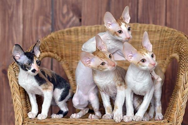 Порода кошек корниш рекс: кому подойдут ушастики с кудряшками