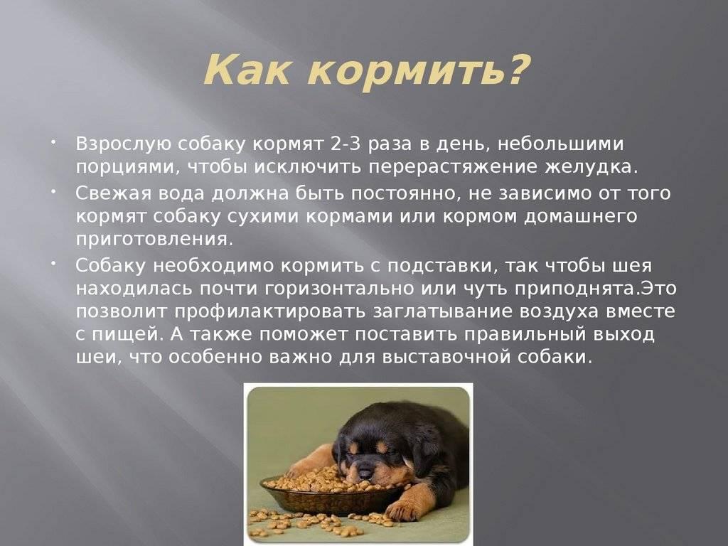 Как правильно кормить собаку в домашних условиях, чем нельзя и почему
