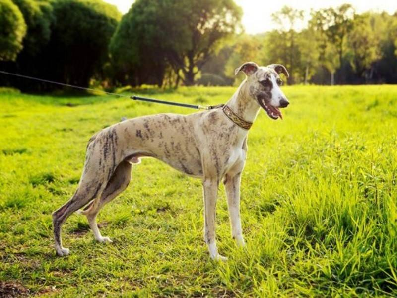 Грейхаунд: все о породе собак