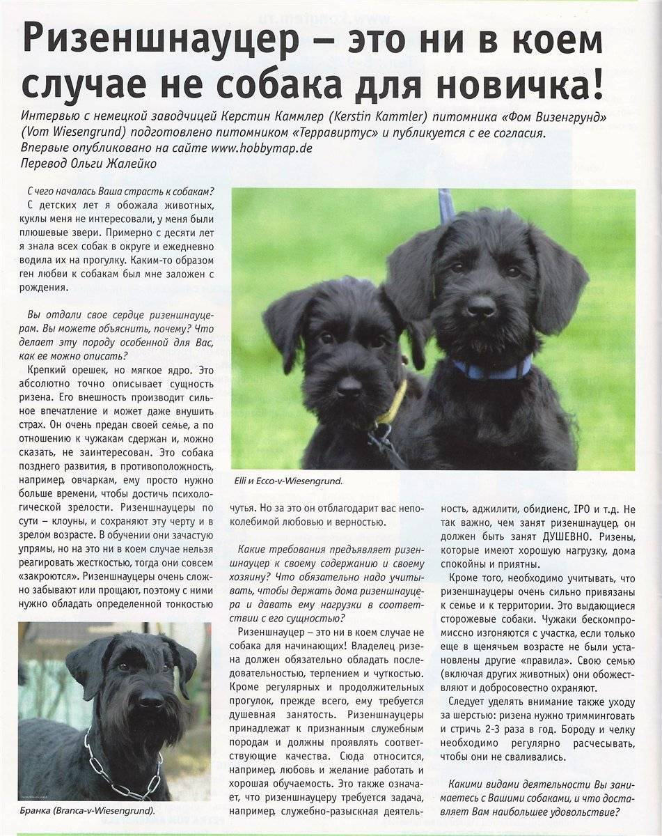 Подробное описание всех видов собак шнауцеров: внешность и характеристика пород