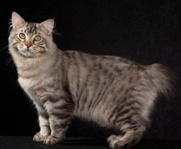 Мраморный окрас у британских кошек: история появления и особенности ухода