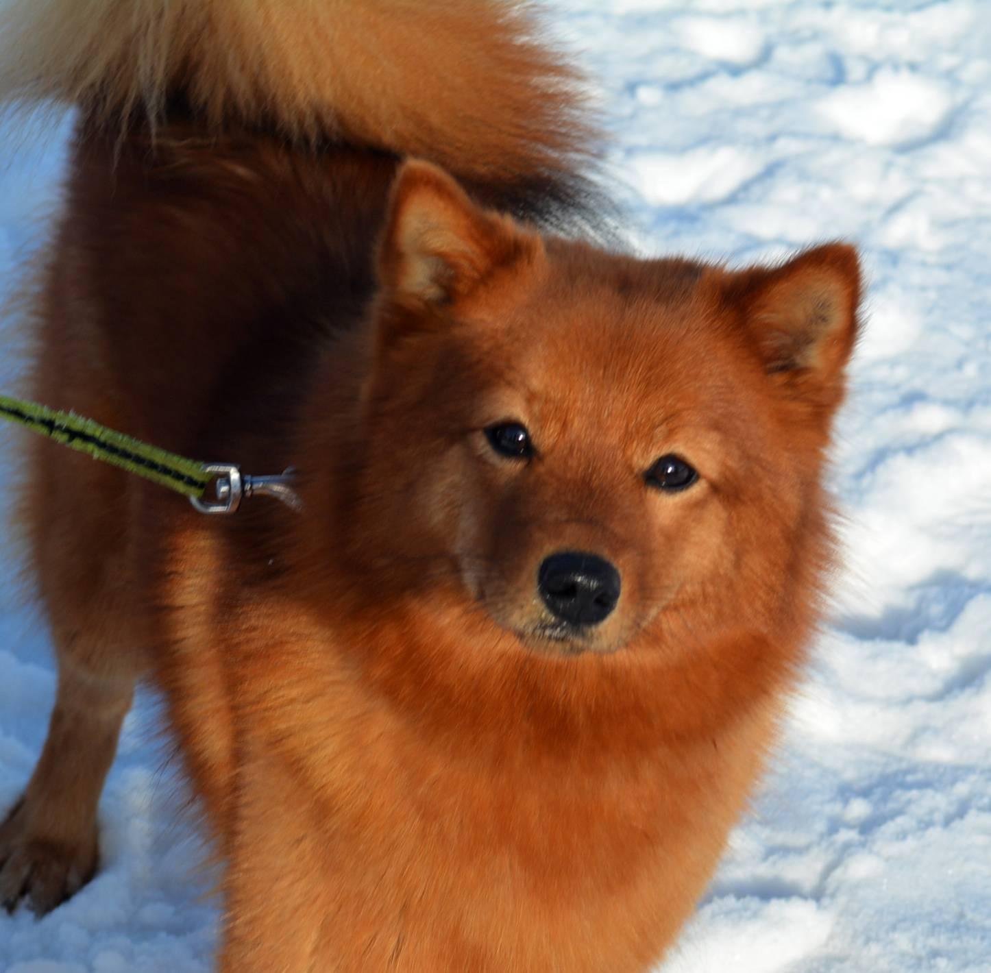 Карело-финская лайка — самый маленькая лайка и великолепная охотница
