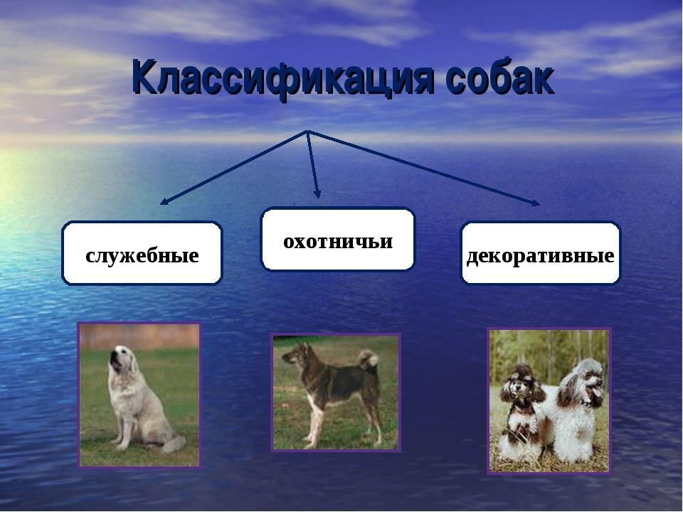 Классификация пород собак. отличия классификации fci и акс. как классифицируются породы собак? 3 группа собак