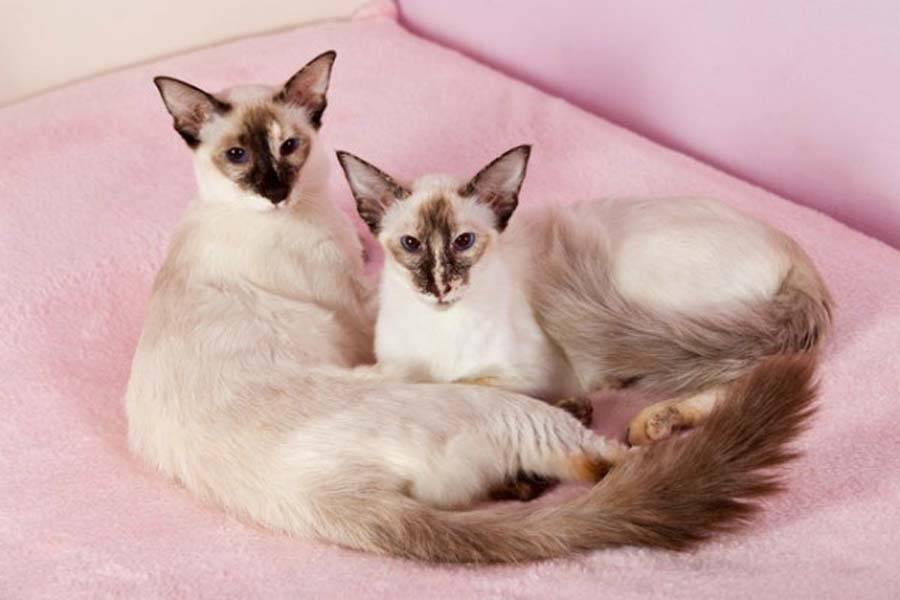 Балинезийская кошка: особенности породы, уход, содержание, цена