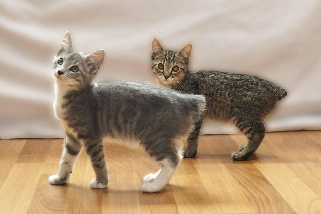 Бобтейлы-бесхвостые породы кошек, все виды с фото