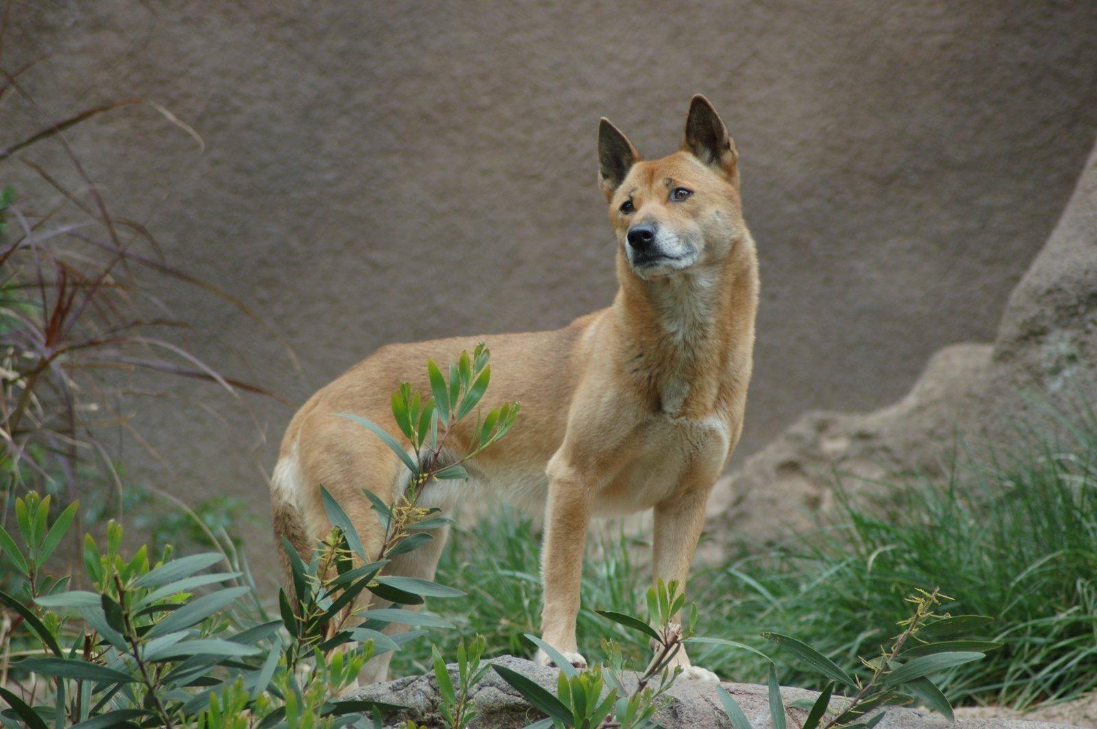 Новогвинейская поющая собака: особенности внешнего вида
