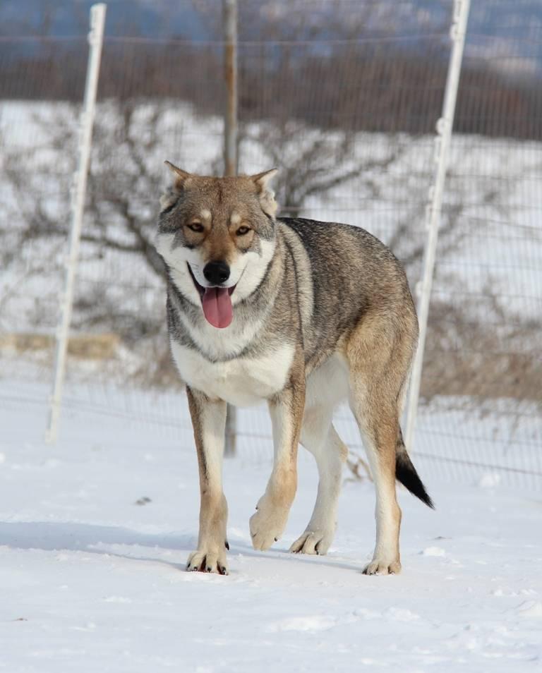 Чехословацкий влчак: описание волчьей собаки, стандарты внешности, уход, цены, фото