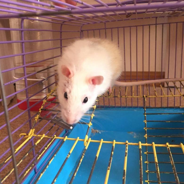 Крыса домашняя декоративная (rattus norvegicus domestica, fancy rat) - разновидности, средние цены, питомники, рекомендации заводчиков