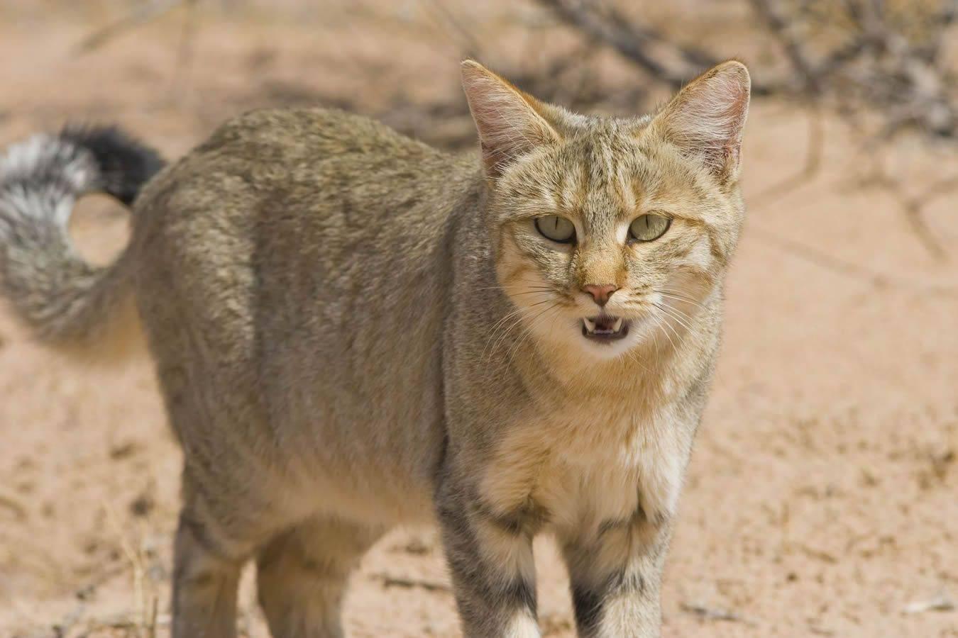Африканский дикий кот – индивидуальность породы, содержание и уход за черноногой кошкой