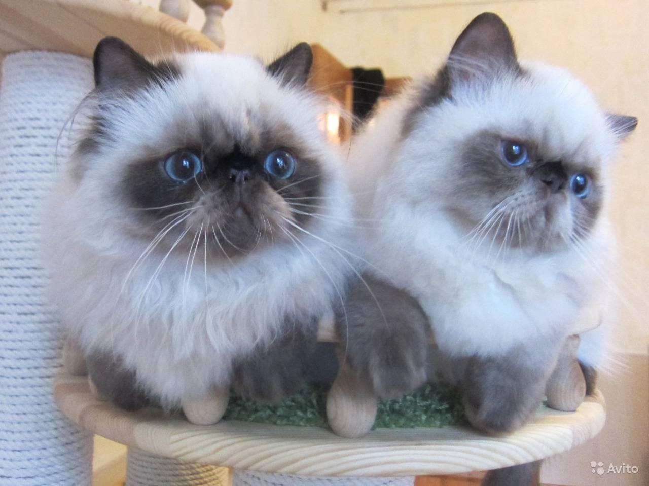 Гималайская кошка — википедия. что такое гималайская кошка