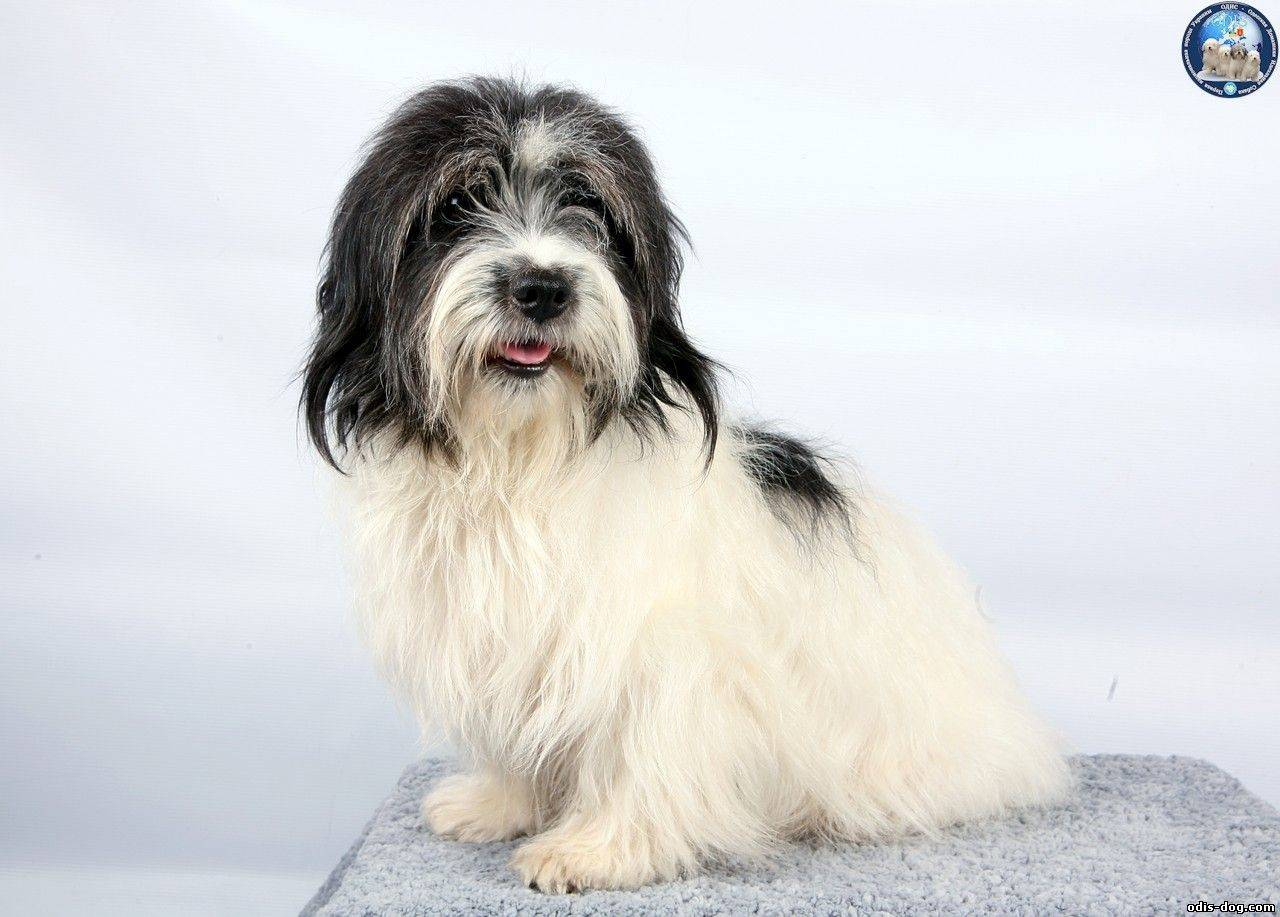 Одис — характеристика, описание, уход и фото | все о собаках