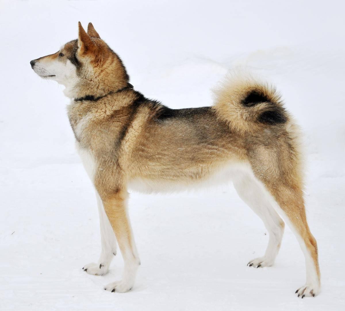 Западносибирская лайка — все о собаке от а до я, содержание и уход, рацион питания и особенности дрессировки +фото и видео в обзоре!