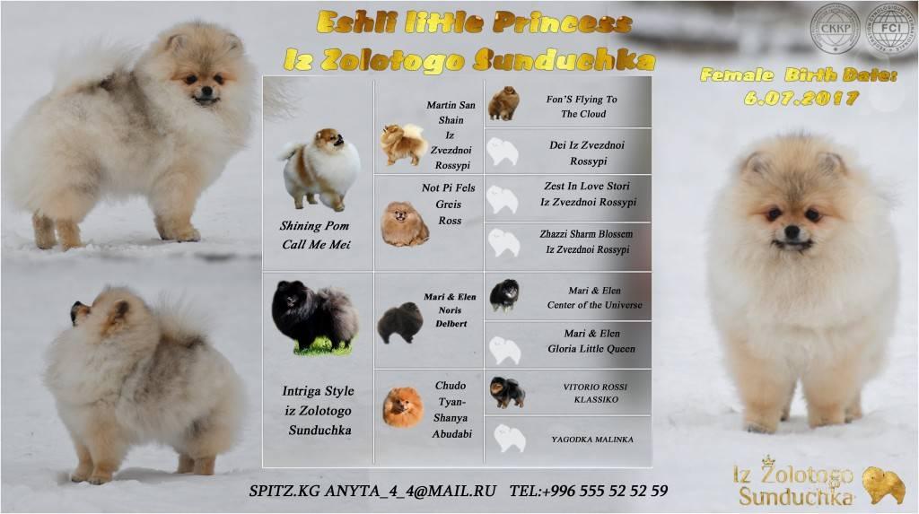 Кремовый шпиц: особенности окраса, условия содержания щенков