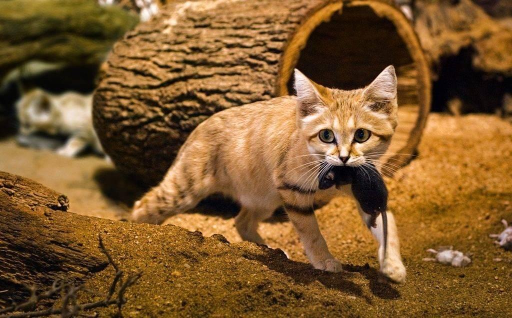 Бархатный кот: внешний вид, среда обитания, особенности поведения и питания, содержание в домашних условиях барханной кошки, фото