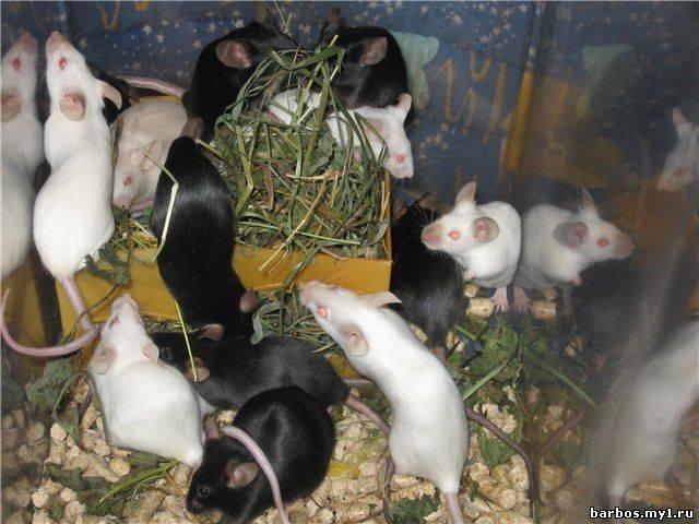 Мышь домашняя: разведение и уход за декоративными видами мышей