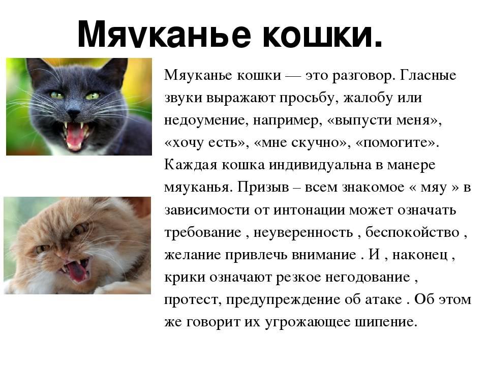 Как понять кошачий язык: расшифруем звуки и попробуем говорить с кошкой